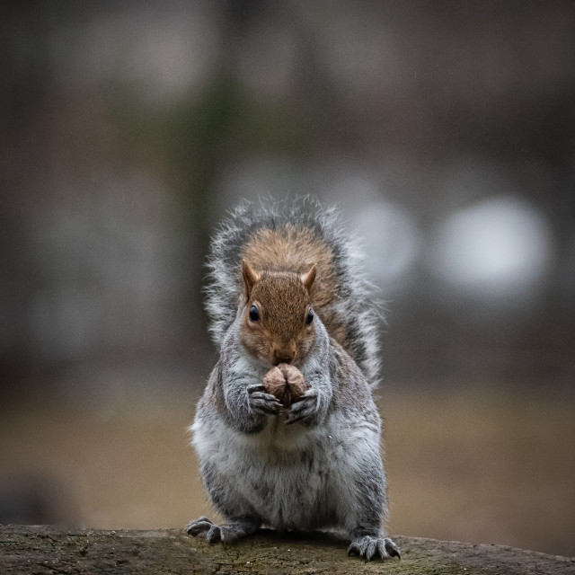 """""""Gray squirrel sitting on a tree trunk eats a nut"""" stock image"""