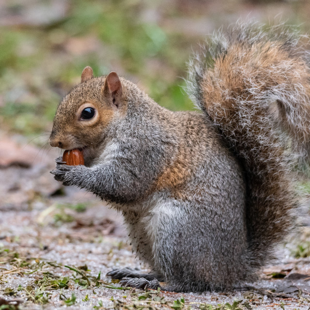 """""""The gray squirrel with a thick tail eats a peanut"""" stock image"""
