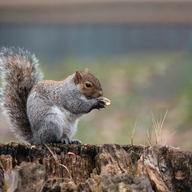 """""""A gray squirrel with a thick tail eats a peanut"""" stock image"""