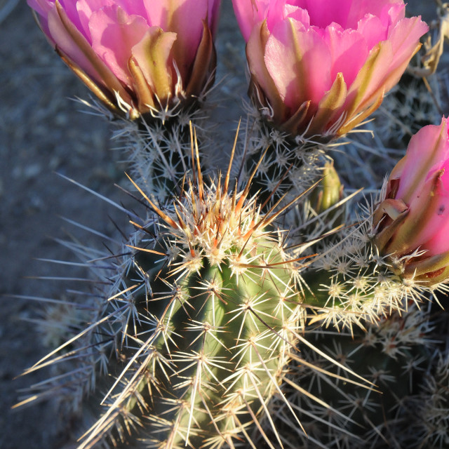 """Flowering Cactus detail"" stock image"
