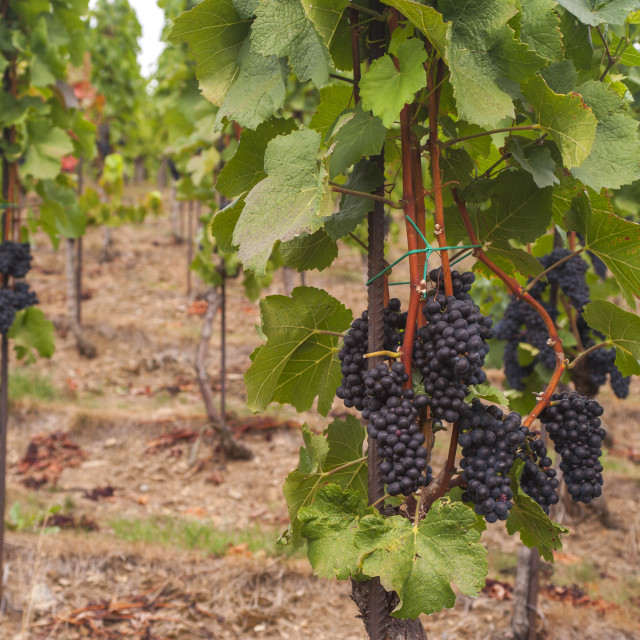 """Vitis vinifera, common grape vine. Grape vines by rows with clusters of ripe black blue grape berries. Vineyard of The St. Clara Vineyard (Vinice sv. Kláry) in Prague botanical garden. August, Czech Republic"" stock image"