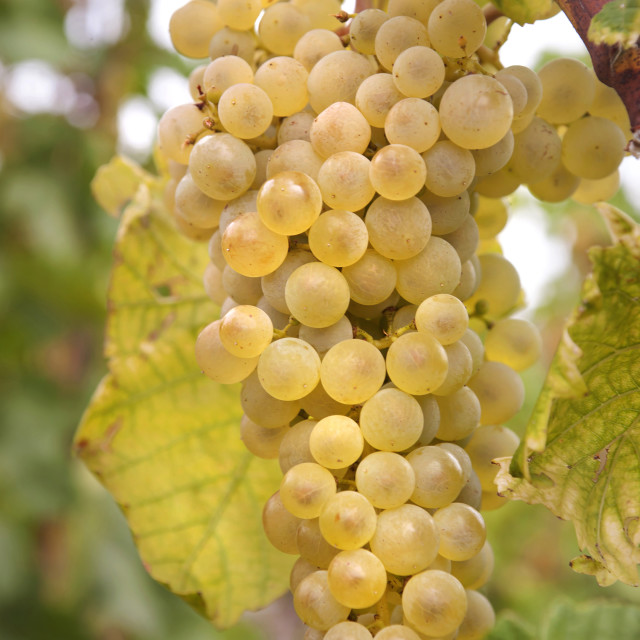 """Vitis vinifera, common grape vine. Cluster of ripe white - yellow grape berries, close up, selective focus. Collection of the grapes from vineyard of The St. Clara Vineyard (Vinice sv. Kláry) in Prague botanical garden.August, Czech Republic"" stock image"