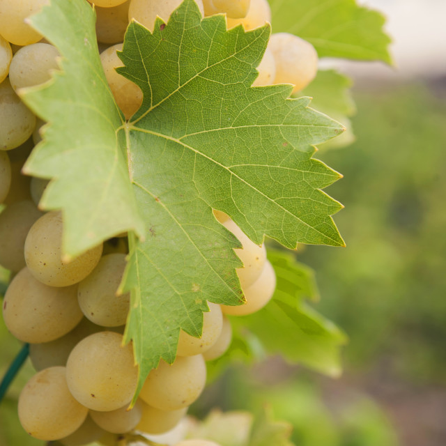 """Vitis vinifera, common grape vine. Cluster of sort 'Prim' ripe white - yellow grape berries, close up, selective focus. Collection of the grapes from vineyard of The St. Clara Vineyard (Vinice sv. Kláry) in Prague botanical garden. August, Czech Republic"" stock image"