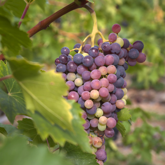 """Vitis vinifera, common grape vine. Cluster of sort 'Royal' ripe red - purple grape berries, close up, selective focus. Collection of the grapes from vineyard of The St. Clara Vineyard (Vinice sv. Kláry) in Prague botanical garden. August, Czech Republic"" stock image"