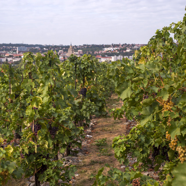 """Vitis vinifera, common grape vine. Grape vines by rows with clusters of ripe yellow (white) grape berries - Vineyard of The St. Clara Vineyard (Vinice sv. Kláry) in Prague botanical garden. August, Czech Republic"" stock image"