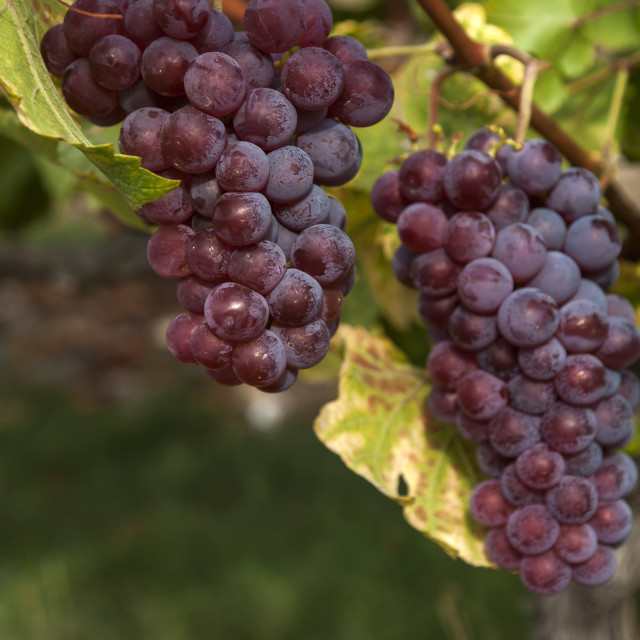 """Vitis vinifera, common grape vine. Cluster of sort 'Onyx' ripe red - purple grape berries, close up, selective focus. Collection of the grapes from vineyard of The St. Clara Vineyard (Vinice sv. Kláry) in Prague botanical garden. August, Czech Republic"" stock image"