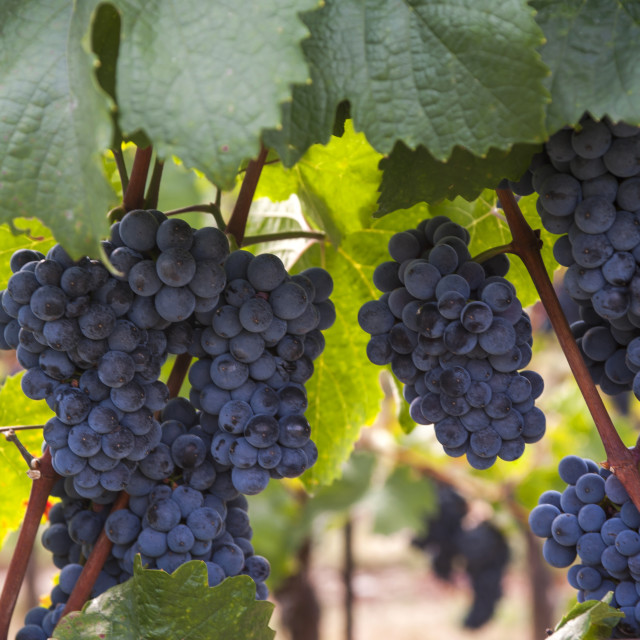 """Vitis vinifera, common grape vine. Cluster of ripe blue - black grape berries, close up, selective focus. Collection of the grapes from vineyard of The St. Clara Vineyard (Vinice sv. Kláry) in Prague botanical garden. August, Czech Republic"" stock image"