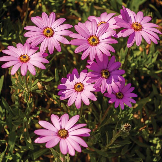 """Osteorospermum Flowers"" stock image"