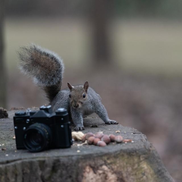 """A gray squirrel eats a peanut near an old camera"" stock image"