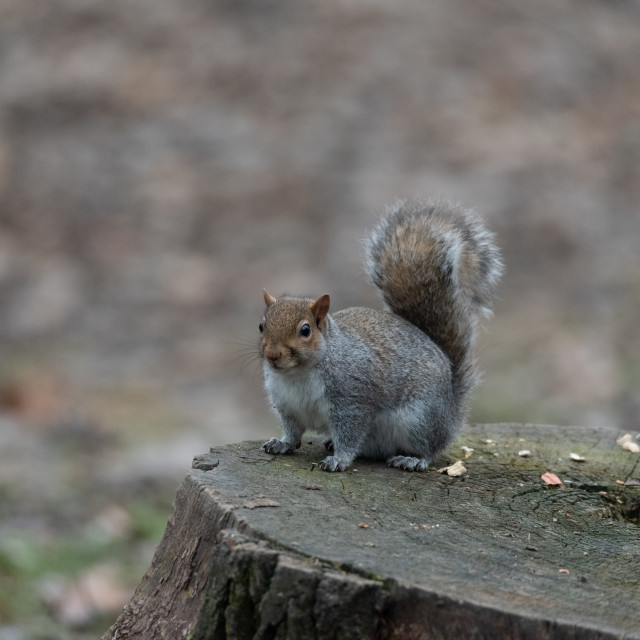 """""""chubby gray squirrel on two legs in the woods"""" stock image"""