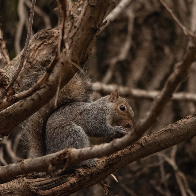 """""""gray squirrel crouching in tree branches"""" stock image"""