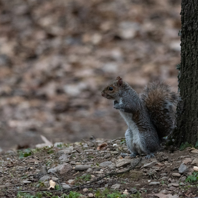 """""""gray squirrel on two legs in front of a tree"""" stock image"""