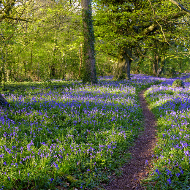 """Evening sunlight on bluebells in the woods, near Lovedean, Hamps"" stock image"