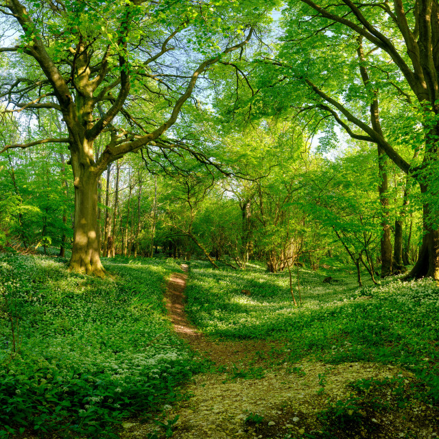 """Wild garlic in the woods near Privett in the South Downs Nationa"" stock image"