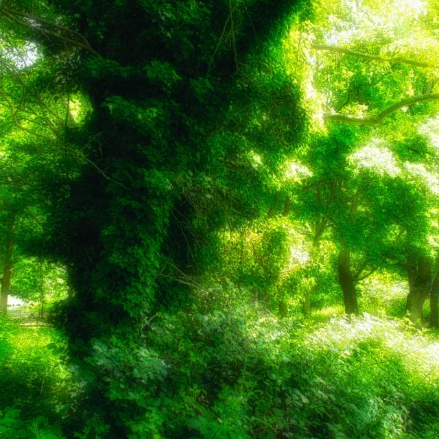 """Lush Greenery : Climbing Ivy"" stock image"