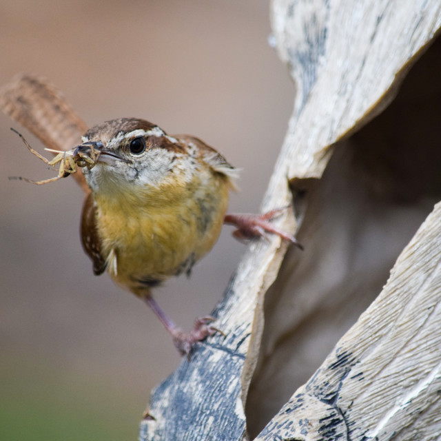 """""""Carolina Wren - with insect, perching"""" stock image"""