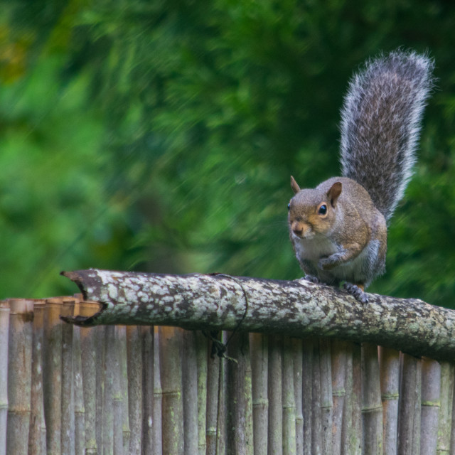 """Eastern gray squirrel on a Bamboo Fence"" stock image"