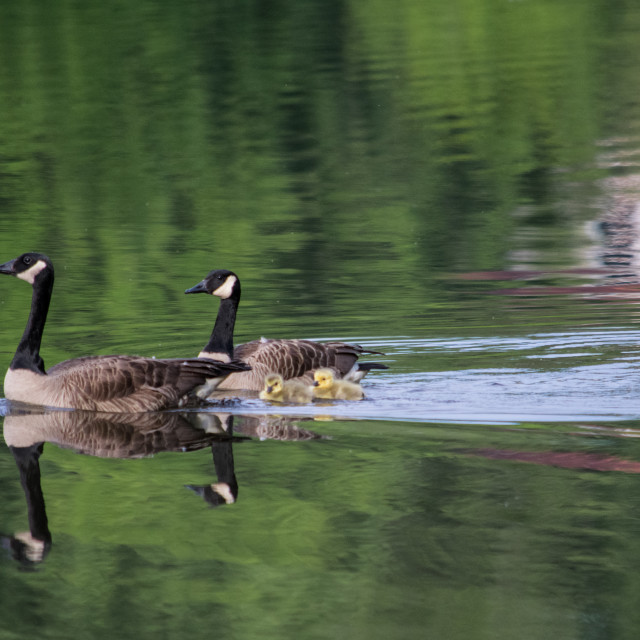 """Canada Goose with gooslings on a lake"" stock image"