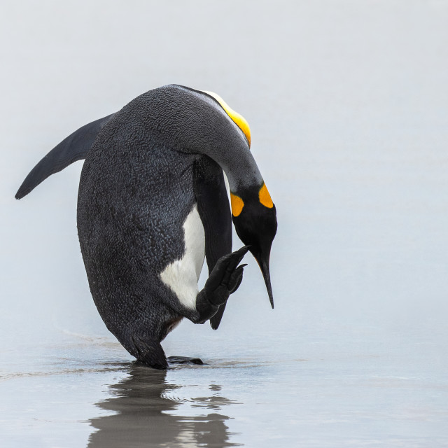 """King Penguin having a scratch"" stock image"