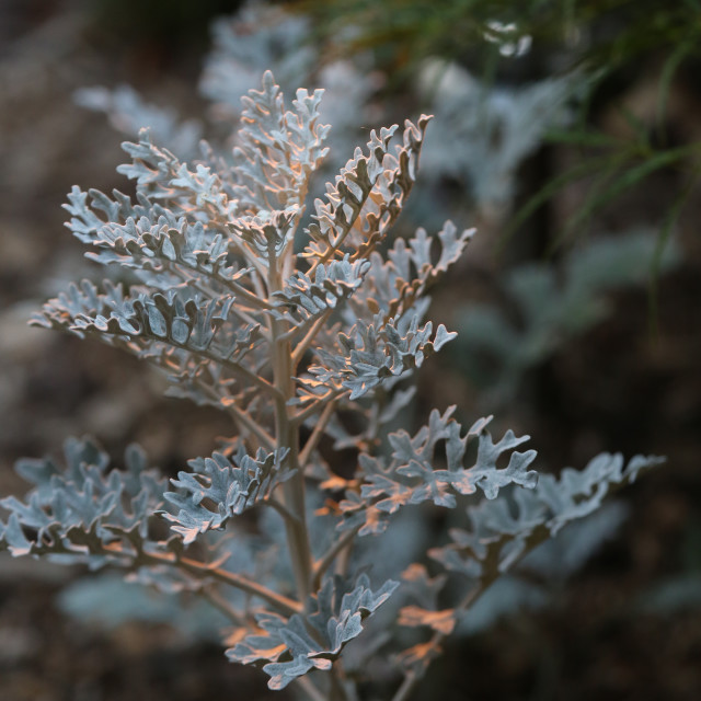 """Dusty Miller at Dusk"" stock image"