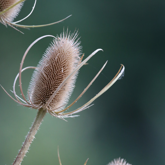 """Dried Up Thistle"" stock image"