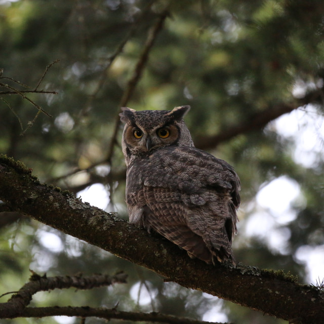"""Great Horned Owl Perched"" stock image"