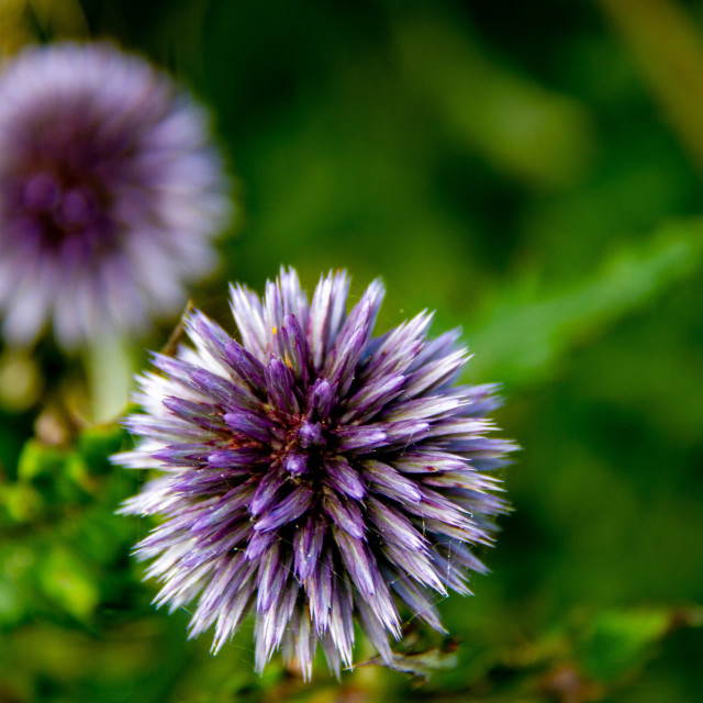 """Echinops Flowering Plant"" stock image"
