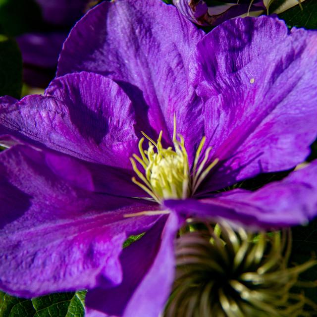 """Clematis Purple Jackmani"" stock image"