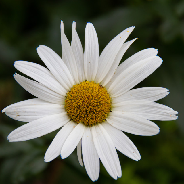 """Single Daisy"" stock image"