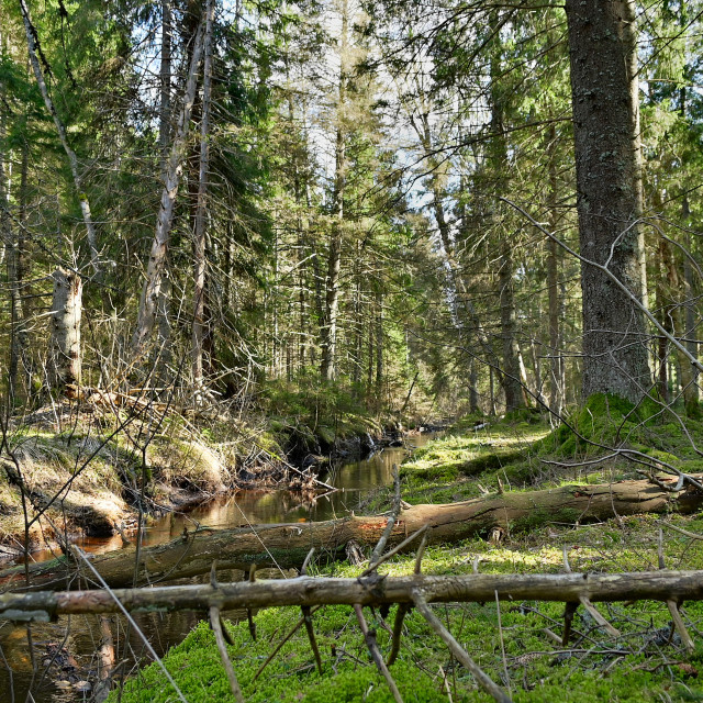 """""""Untouched forest"""" stock image"""