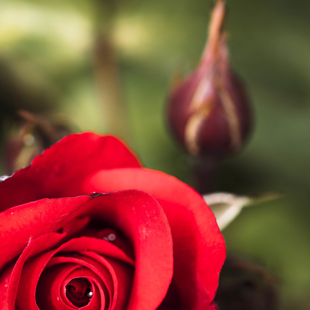 """""""A Rose in Bloom."""" stock image"""