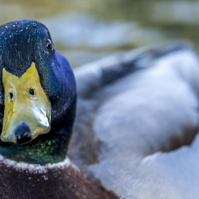 """Inquisitive Duck, Cherry Hinton Hall, Cambridge UK."" stock image"