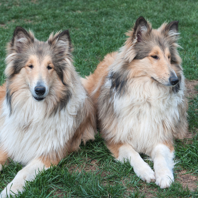 """""""Rough Collie, Italy"""" stock image"""