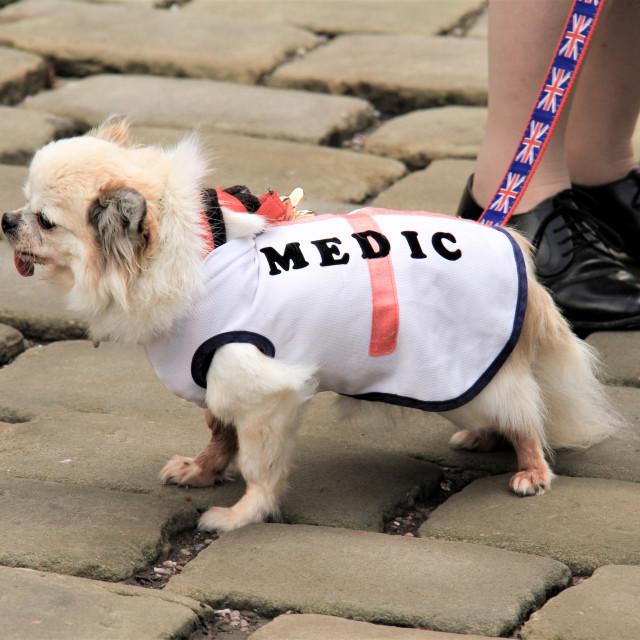 """Long Haired Chihuahua Dog Wearing 'Medic' Coat"" stock image"