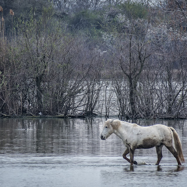 """""""Camargue horse walks muddy in the water"""" stock image"""