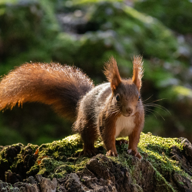 """""""European red squirrel crouching on a trunk"""" stock image"""
