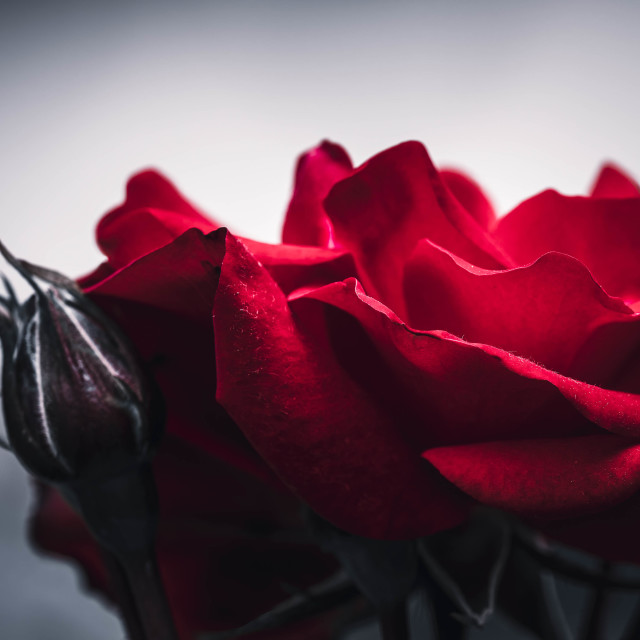 """""""Red Rose in Bloom."""" stock image"""