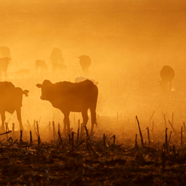 """""""Cattle in dust at sunset"""" stock image"""