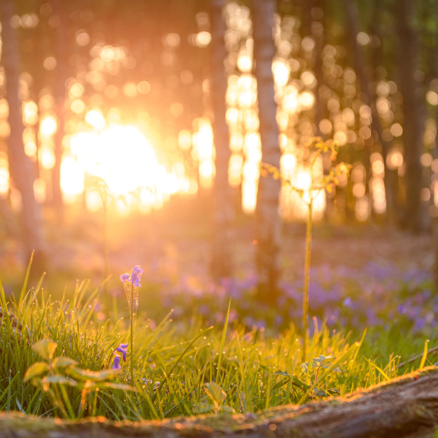 """Bluebell sunrise"" stock image"