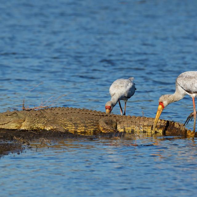 """""""Nile crocodile basking with foraging storks"""" stock image"""