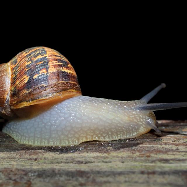 """Nocturnal garden snail"" stock image"