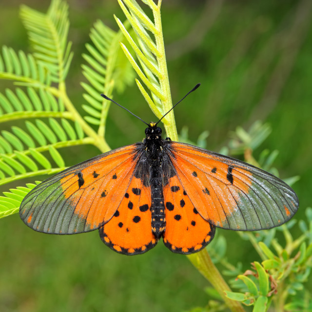 """""""Colorful garden acraea butterfly"""" stock image"""