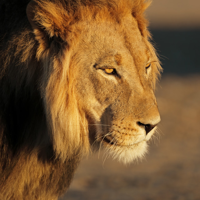 """""""Portrait of a big male African lion"""" stock image"""