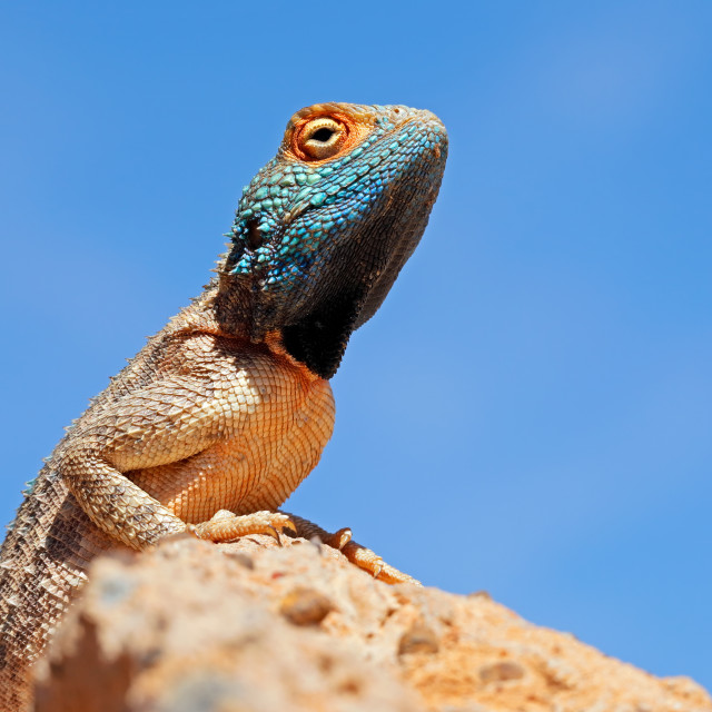 """""""Portrait of a ground agama on a rock"""" stock image"""
