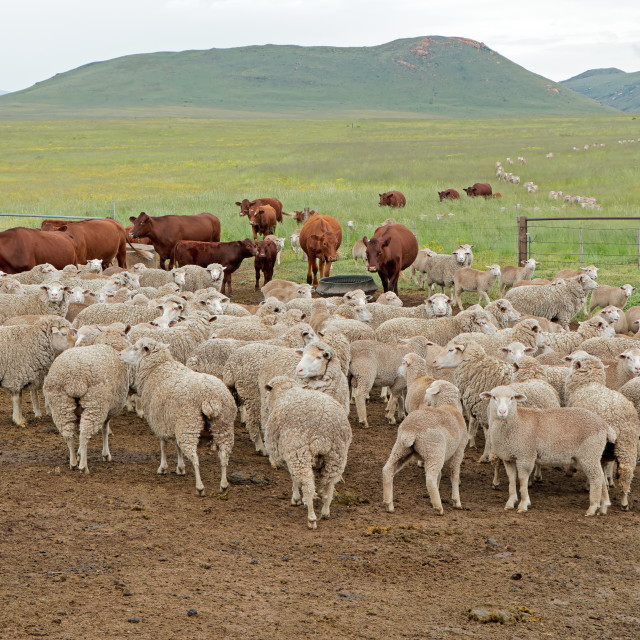 """""""Sheep and cattle on a rural farm"""" stock image"""