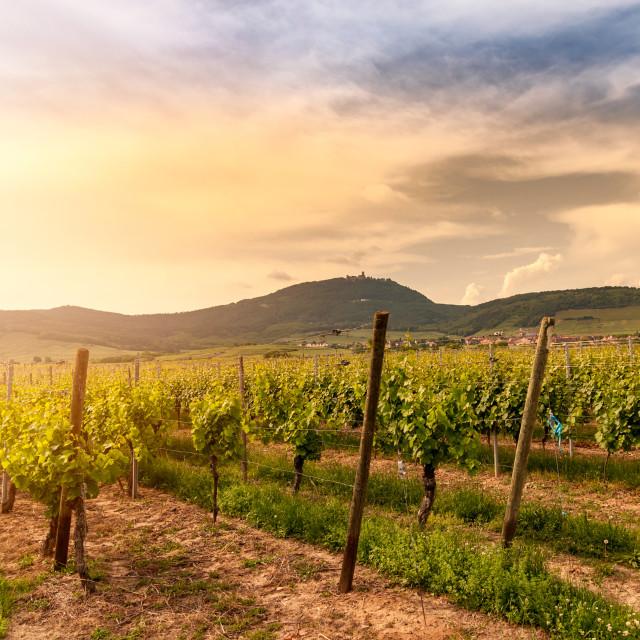 """""""Alsace vineyard, France"""" stock image"""