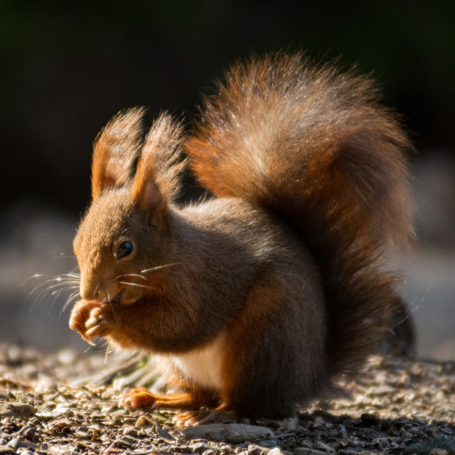 """""""European red squirrel with thick tail"""" stock image"""
