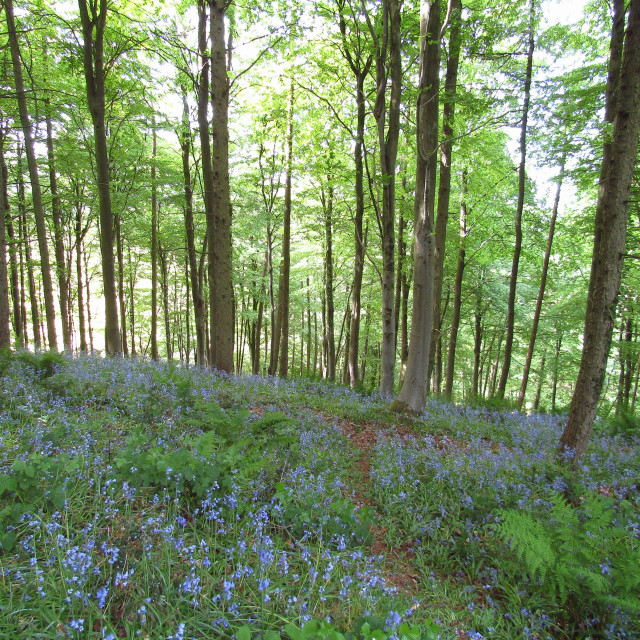 """Bluebells in the forest"" stock image"