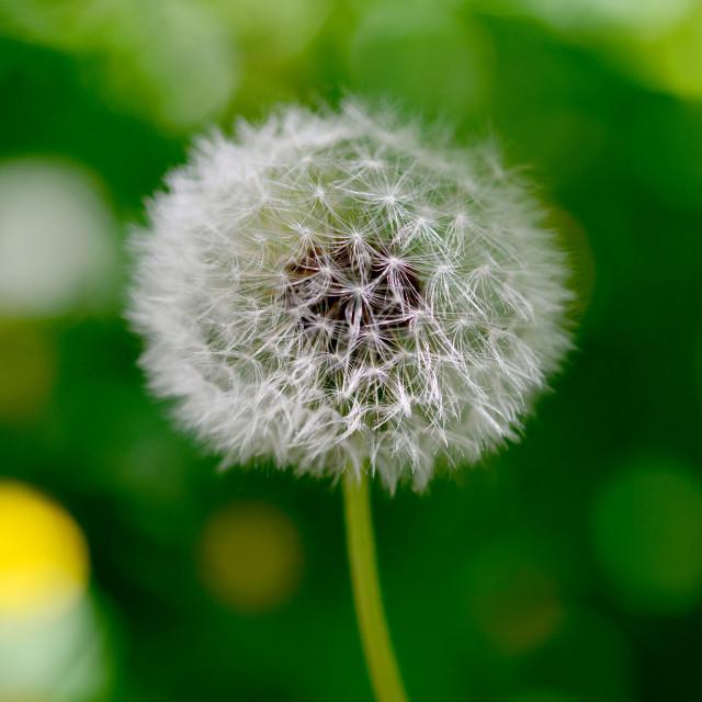 """dandelion plant detail"" stock image"