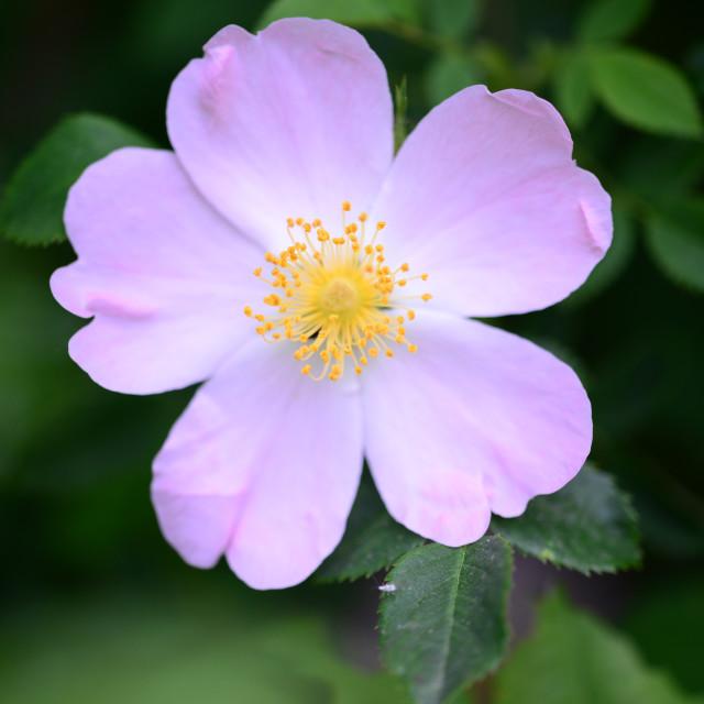 """""""Rosa Canina flower"""" stock image"""